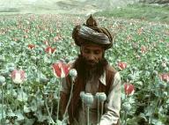 Opiumernte